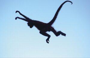 Macaco-aranha (Foto: Sérgio Pucci/The Nature Conservacy)