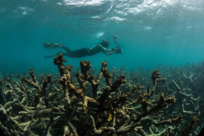 Corais mortos na Grande Barreira da Austrália: gases-estufa comprovadamente culpados (Foto: The Ocean Agency)