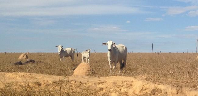 Gado em pasto degradado na Amazônia: rebanho bovino lidera emissões de metano do Brasil (Foto: Ipam)