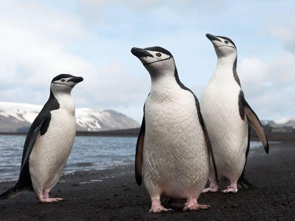 Pinguins-de-barbicha (