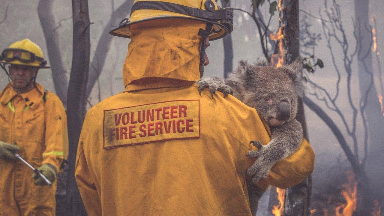 Bombeiro resgata coala na Nova Gales do Sul, Austrália